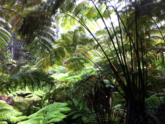 Ferns at Volcano National Park